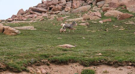 Mountain goat at high elevation on an summer or spring day Stock Photo - 126034255