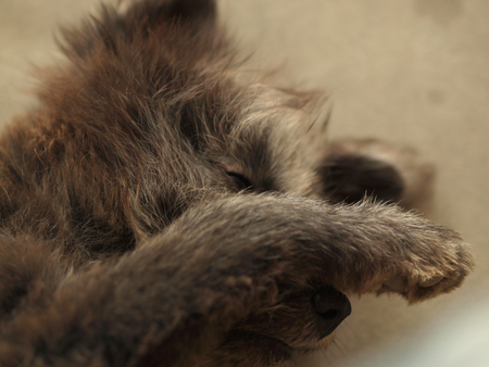 embarrassing: SLEEPY DOG HIDING ITS FACE WHILE PHOTOGRAPHING