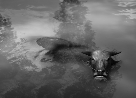 wallowing: BLACK AND WHITE PHOTO OF WATER BUFFALO WALLOWING IN WATER