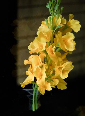 COLOR PHOTO OF YELLOW BURMA PADAUK (PTEROCARPUS MACROCARPUS) Stock Photo
