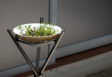 COLOR PHOTO OF FRESH WATERCRESS SPROUT GROWING IN WHITE BOWL Stock Photo