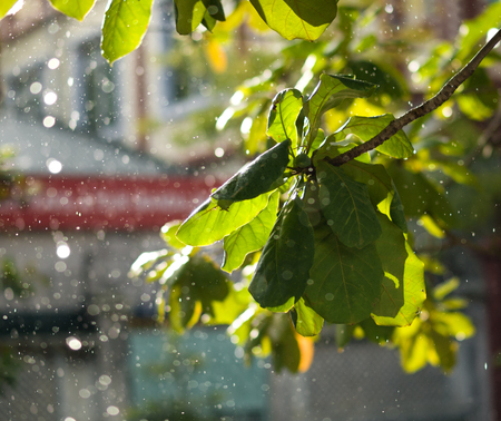 COLOR PHOTO OF CLOSE-UP OF RAINDROPS AND BLURRY LEAVES