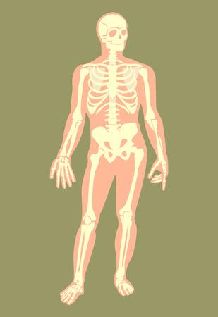 skelett mensch: Vector Skelett flachen Darstellung