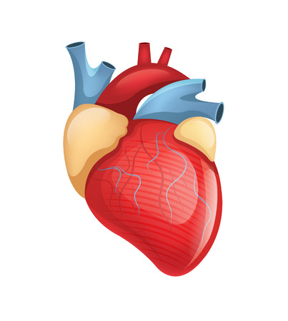 Vector human heart illustration Çizim