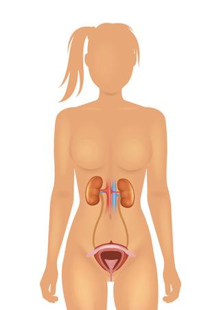adrenal: Kidneys and bladder vector illustration