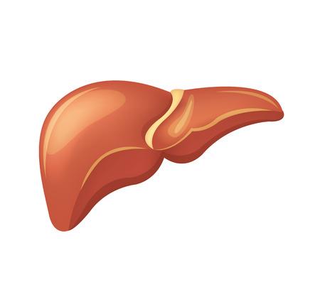 sistema digestivo: Vector ilustración de hígado Vectores