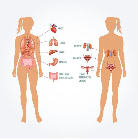 Vector anatomy illustration Vector