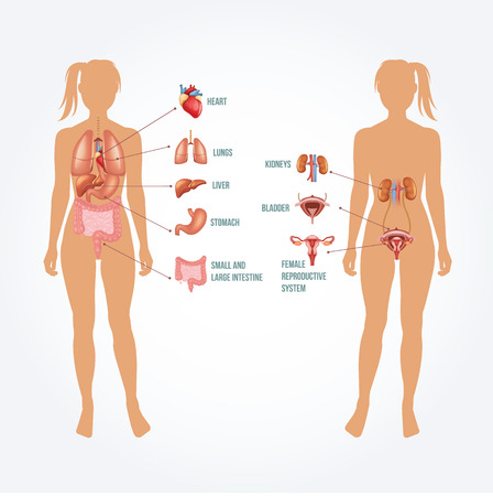 abdomen women: Vector anatomy illustration Illustration