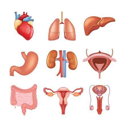 anatomie humaine: Vecteur organes internes, icône, ensemble