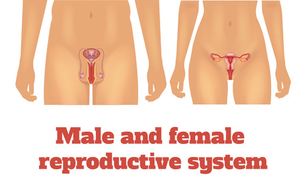 woman vagina: Man and woman reproductive system. Vector illustration