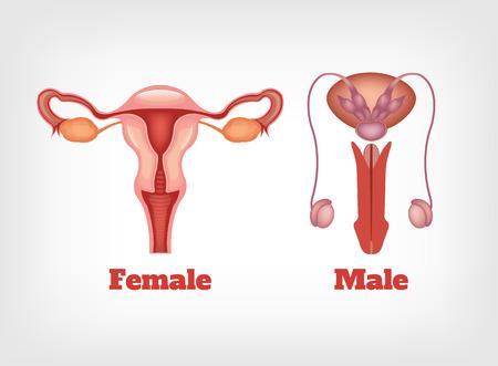 ovario: El hombre y el sistema reproductivo de la mujer. Vector conjunto de iconos Vectores