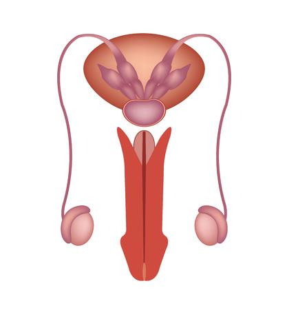 男性の生殖システムのベクトルのアイコン