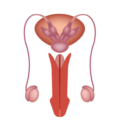 male anatomy: Male reproductive system vector icon