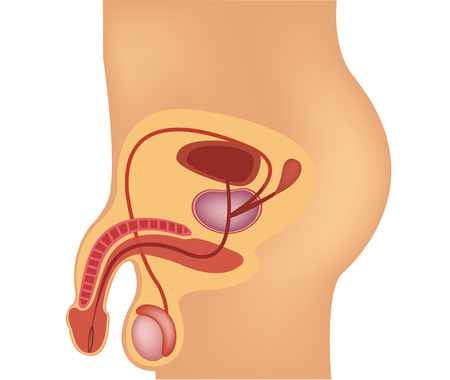 males: Male reproductive system vector illustration
