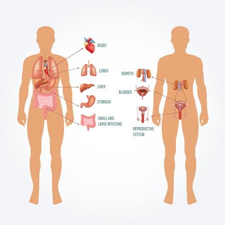aparato reproductor: Vector hombre anatomía ilustración