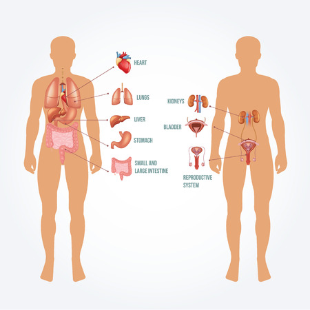 gastrointestinal system: Vector man anatomy illustration