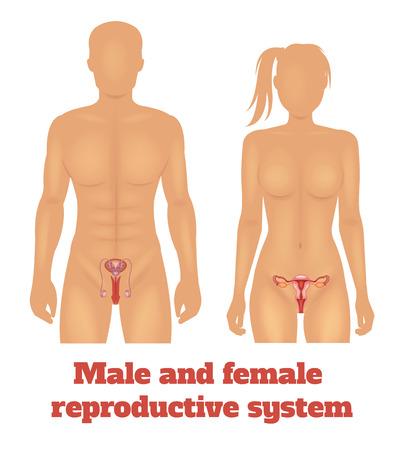 aparato reproductor: El hombre y el sistema reproductivo de la mujer. Ilustración vectorial Vectores