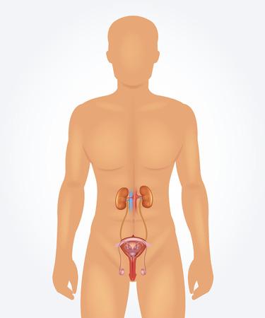 apparato riproduttore: Sistema riproduttivo maschile. Realistica illustrazione vettoriale