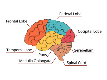 brain function: Brain function diagram. Vector illustration