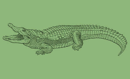 alligator: Hand drawn crocodile. Vector illustration