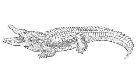 crocodile skin leather: Hand drawn crocodile illustration