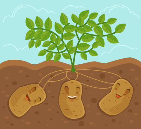 potato leaves: Potato grown underground. Vector flat cartoon illustration