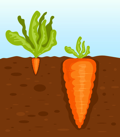 Big and small carrot. Vector flat cartoon illustration
