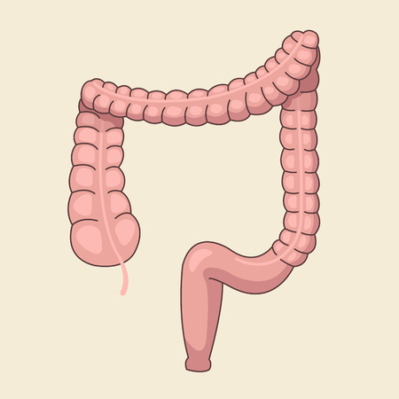 Large intestine. Vector flat cartoon illustration