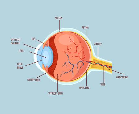 ojo humano: esquema de la estructura de la anatomía humana color de los ojos. ilustración de dibujos animados plana