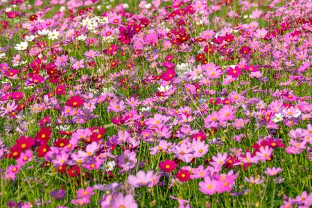 Cosmos sulphureus is also known as Sulfur Cosmos and Yellow Cosmos. It is native to Mexico, Central America, and northern South America, and naturalized in other parts of North and South America as well as in Europe, Asia, and Australia. Standard-Bild
