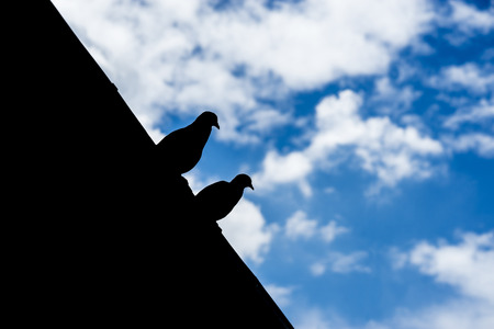 standstill: pigeon silhouette on the roof