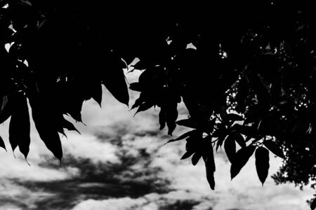 clound: black white leave with sky ,clound background Stock Photo