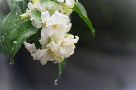 philadelphus: beautiful Murraya paniculata flower at garden ,park ,forest