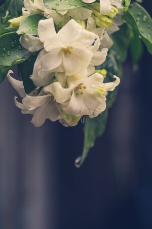 philadelphus: beautiful Murraya paniculata flower vinrage style at garden ,park ,forest Stock Photo