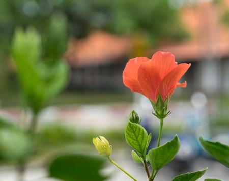 beautiful orange Hibiscus rosa-sinensis ,shoe flower at park ,garden ,forest Stock Photo