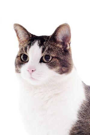 whiskar: cat on a white studio background for cutout Stock Photo