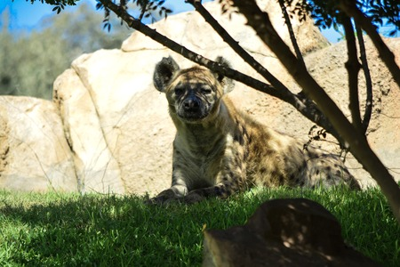 Spotted hyena Imagens