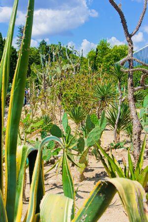 botanic: Cactus tree at Balchik botanic garden, Bulgaria