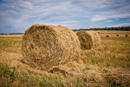 Straw Haystacks on the grain field after harvesting photo