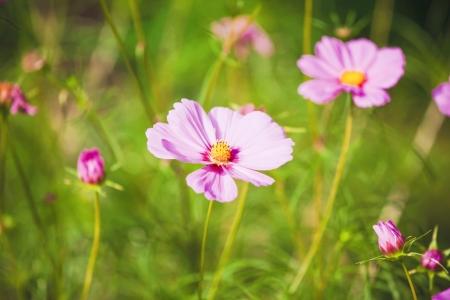 compositae: Cosmos pink flower Family Compositae Stock Photo