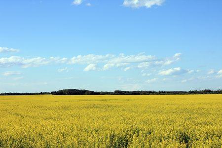 Peaceful Yellow Field Under Blue Sky Landscape