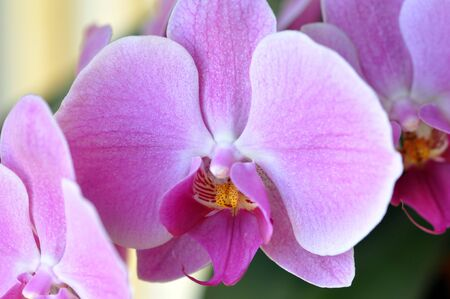 Elegant picture of a purple orchid in blossom perfect for a tranquil background or zen like concept.