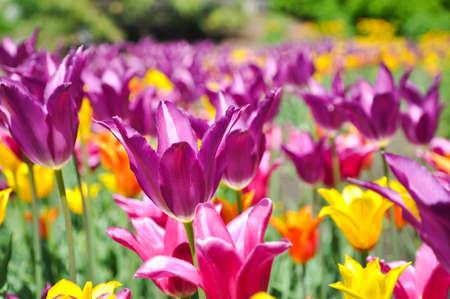 チューリップ - のフィールド紫、黄色とオレンジ色の電球