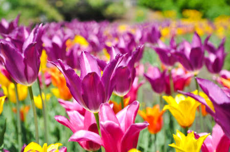 captivating: Field of Tulips - Purple, Yellow and Orange bulbs Stock Photo