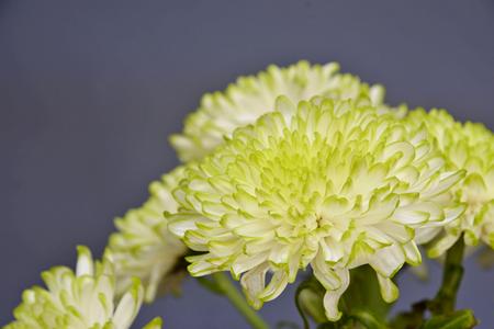 chrysanthemum flowers,close up (Dendranthemum grandifflora)