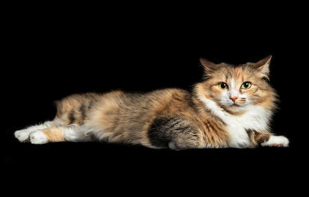 Cat lying sideways with ears turned to the side or backwards. Cute female torbie kitty with irritated expression or alert. Concept for reading or understanding cat ear signals. Isolated on black. Foto de archivo