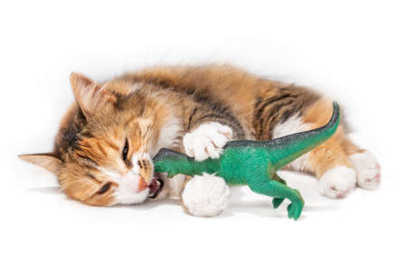 Cat vs dinosaur. A orange white long hair fluffy kitty is laying sideways. The playful 1 year old cat has a large green plastic kid toy in the mouth and between the front paws. Isolated on white. Reklamní fotografie