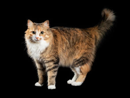 Cat standing sideways with tail curled upwards. Cute fluffy female torbie kitty with beautiful asymmetric face markings, is looking at the camera. Isolated on black. Selective focus.