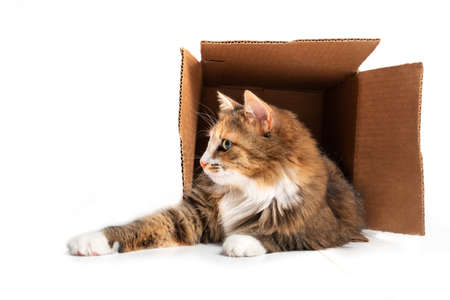 Cat in cardboard box. The playful cat is lying inside of the box with paws stretched out. 1 year old female long hair calico or torbie cat. Concept for cats love boxes. Isolated on white