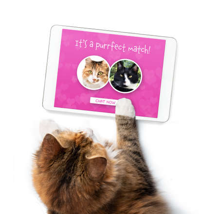 Cat using online dating app on tablet. Screen with match of male and female cat. Top view of single female kitty searching for love. Concept for pets using technology, or animals imitating humans. Stock Photo